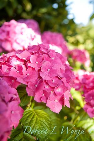Hydrangea macrophylla 'Monink' Pretty N Pink_5478