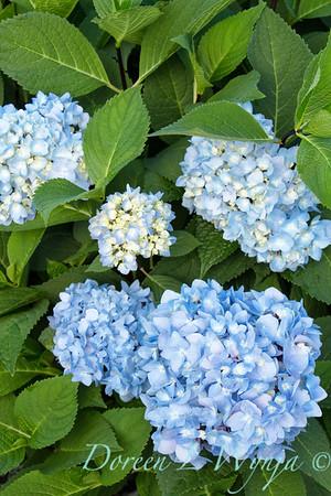 9275 Hydrangea macrophylla 'Monmar' Enchantress_469_20x