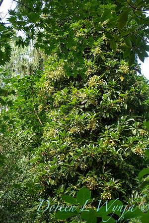 Hydrangea integrifolia_3489FG