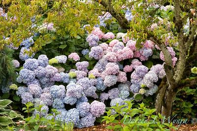 4196 Hydrangea macrophylla Nikko Blue_003V
