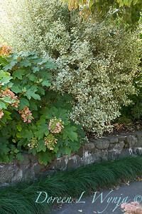 Hydrangea quercifolia - Euonymus_0766