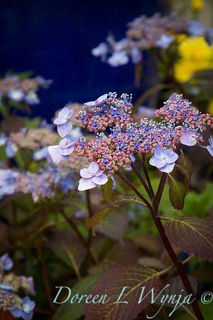 Hydrangea serrata 'Blue Billows'_2733
