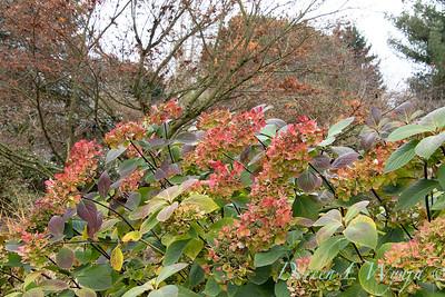 4201 Hydrangea macrophylla 'HYMMADII' Midnight Duchess in a landscape_5431