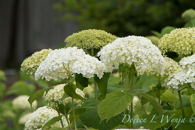 Hydrangea arborescens 'Annabelle' picket fence_2915