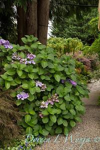 Hydrangea macrophylla_0081