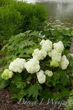 Hydrangea quercifolia Harmony_009_Doreen Wynja