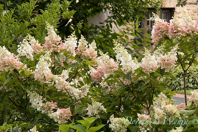 Hydrangea paniculata 'Ruby' Angel's Blush_1414