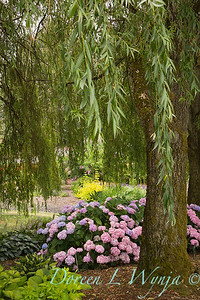 Hydrangea macrophylla Endless Summer_050