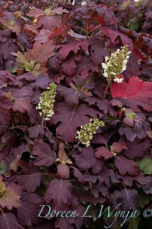 4204 Hydrangea quercifolia Snowflake_010