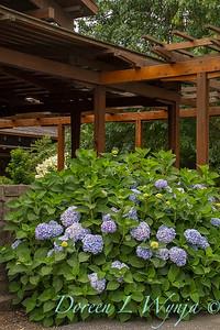 Hydrangea macrophylla Endless Summer_053