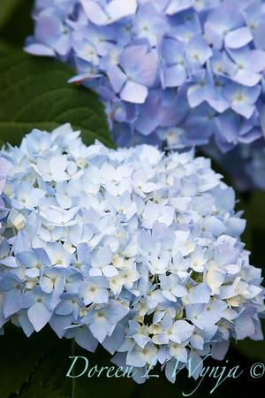 Hydrangea Endless Summer_010