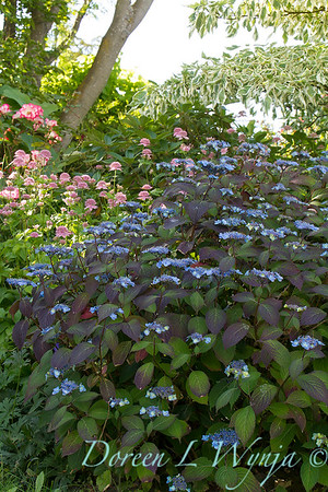 Hydrangea serrata Blue Billow_6415