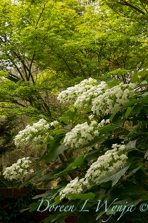 Hydrangea quercifolia Snowflake_0085