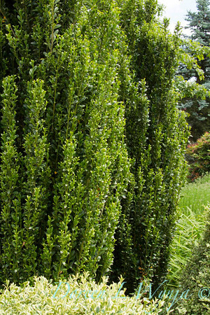 4493 Ilex crenata Sky Pencil_022_Doreen Wynja