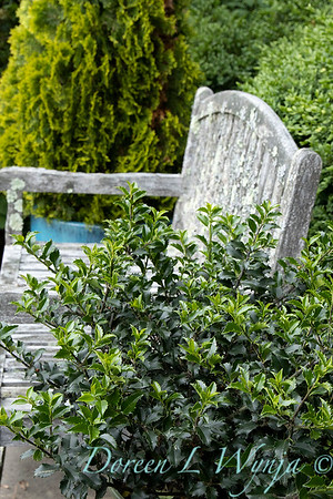 4517 Ilex x meserveae 'Blue Princess' wooden bench_1203