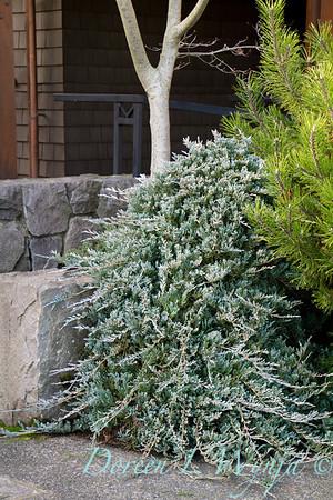 5070 Juniperus horizontalis Wiltonii_024