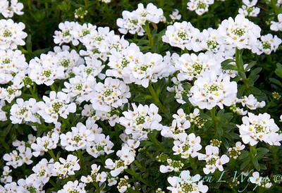 Iberis Sempervirens Candytuft_010C