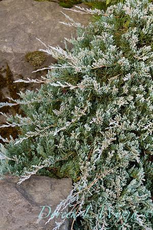 5070 Juniperus horizontalis Wiltonii_025