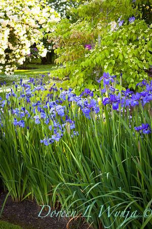 Iris sibirica blue_004