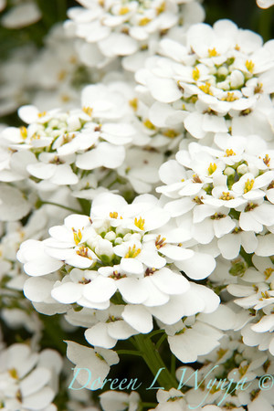 Iberis Sempervirens Candytuft_052