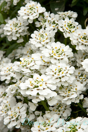 Iberis Sempervirens Candytuft_049