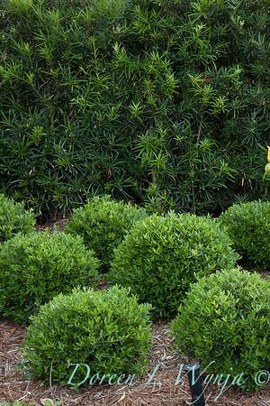 Ilex vomitoria Nana - Podocarpus macrophyllus var  maki_5556