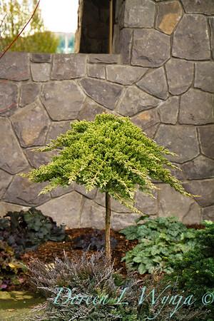 5090 Juniperus procumbens Nana_016