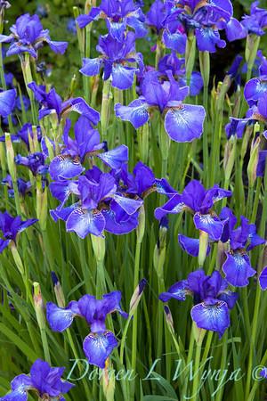 Iris sibirica blue_006
