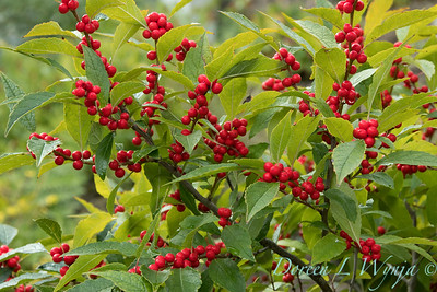 Ilex verticillata with fruit_3928