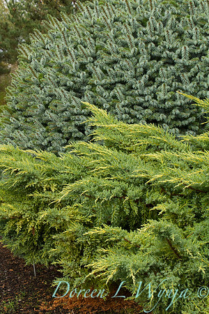 Juniperus chinensis 'Daub's Frosted' - Picea sitchensis 'Papoose'_6418