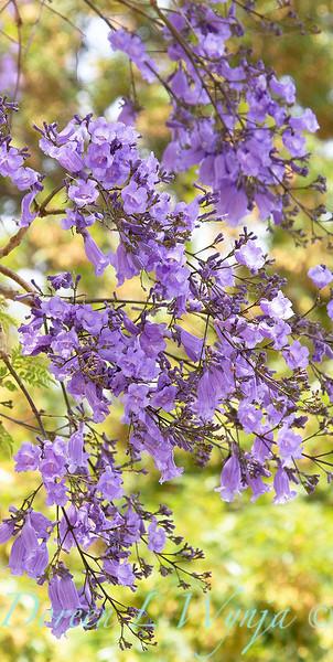Jacaranda mimosifolia_029