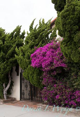 Juniperus chinensis 'Torulosa' - 1305 Bougainvillea 'Moneth' Purple Queen gated entry_3285
