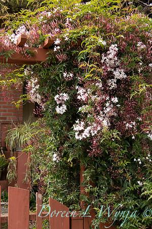 Jasminum polyanthum on a gated arbor_7158