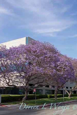 Jacaranda mimosifolia_044