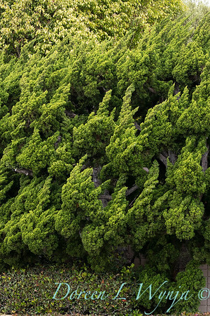 Juniperus chinensis 'Torulosa'_3238