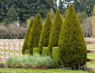 Juniperus chinensis Spartan_002M