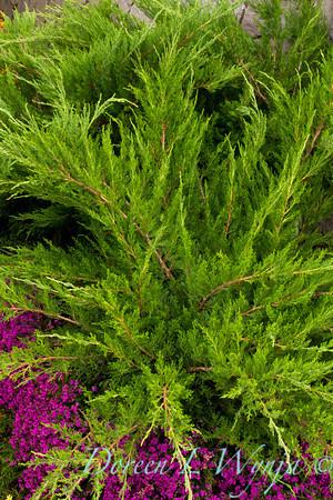 Juniperus chinensis Monlep_018