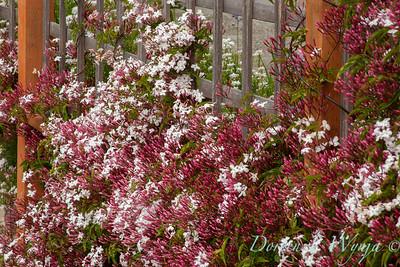 Jasminum polyanthum trellised_2519