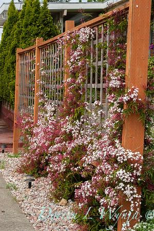 Jasminum polyanthum trellised_2518