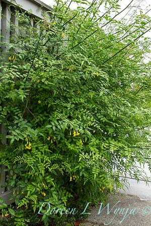 Jasminum humile hedge_4338