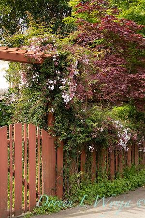 Jasminum polyanthum on a gated arbor_7166