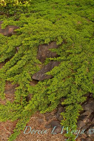 Juniperus horizontalis_001