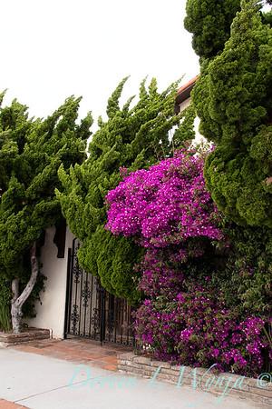Juniperus chinensis 'Torulosa' - 1305 Bougainvillea 'Moneth' Purple Queen gated entry_3288
