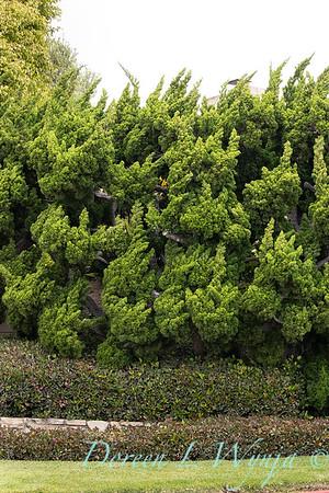 Juniperus chinensis 'Torulosa'_3231
