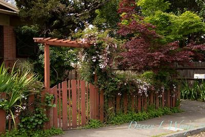 Jasminum polyanthum on a gated arbor_7162