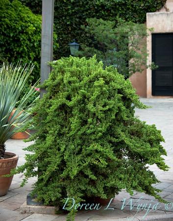 Juniperus procumbens Nana_011M