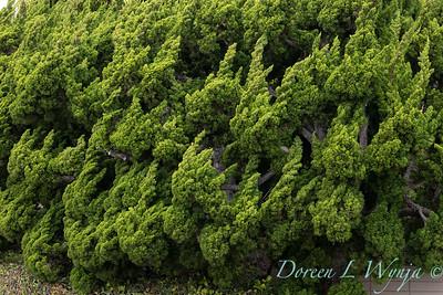 Juniperus chinensis 'Torulosa'_3241
