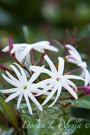 Jasminum nitidum_022