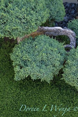 Juniperus squamata 'Blue Star' - Herniaria Glabra green carpet_3176