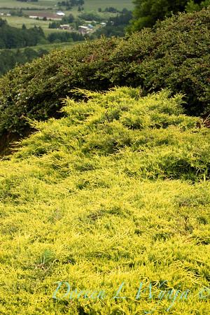 Juniperus Gold Coast_007